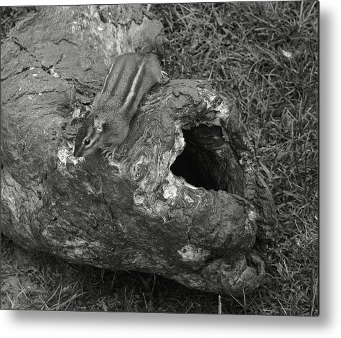 Chipmunk Metal Print featuring the photograph No Place Like Home by Nina Fosdick