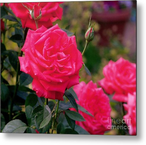 Pink Metal Print featuring the photograph Pink Rose And Bud by Rod Ismay