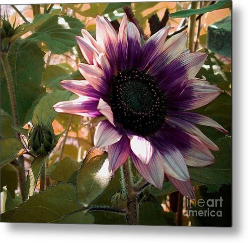 Purple Sunflower Metal Print featuring the photograph Purple Sunflower Abstract by Marjorie Imbeau