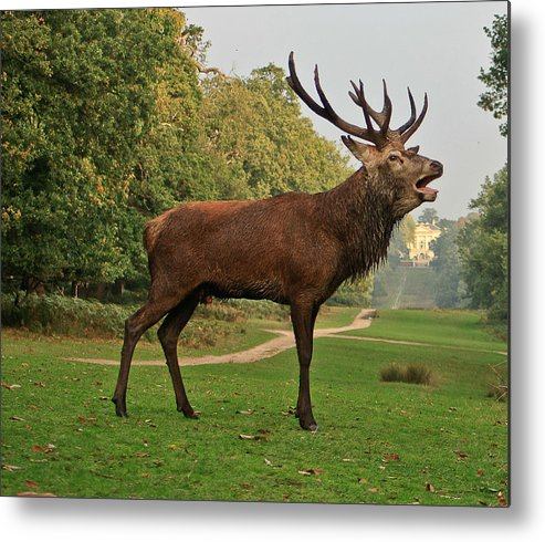 Deer Metal Print featuring the photograph Stately Stag by Dawn OConnor