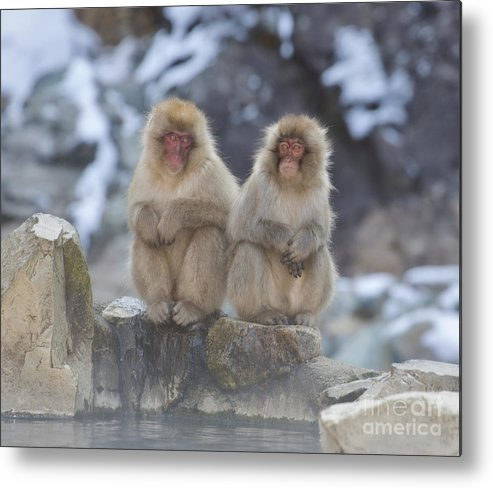 Monkeys Metal Print featuring the photograph Togetherness by Leigh Lofgren