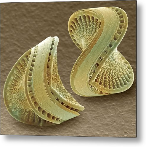 Diatom Metal Print featuring the photograph Diatoms, Sem by Power And Syred