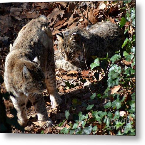 Wildlife Metal Print featuring the photograph Bobcat Couple by Eva Thomas