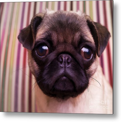 Pug Puppy Cute Dog Breed Portrait Pet Animal Toy Lap Metal Print featuring the photograph Cute Pug Puppy by Edward Fielding