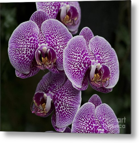 Purple Dtps Metal Print featuring the photograph Doritaenopsis Leopard Prince 2633 by Terri Winkler