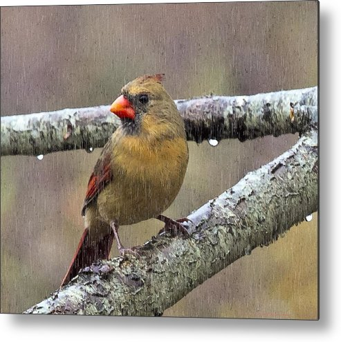 Female Cardinal Metal Print featuring the photograph Female Cardinal Reigns In The Rain by Constantine Gregory