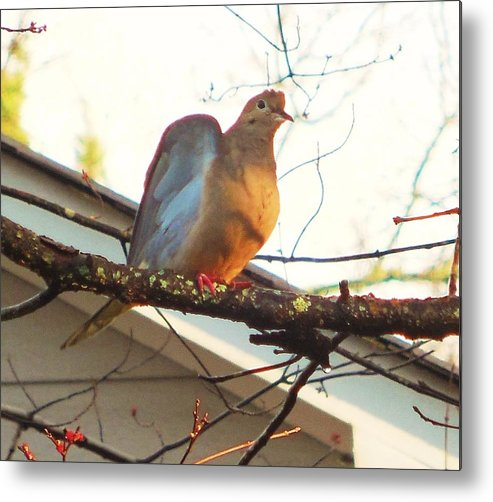 Mourning Dove Metal Print featuring the photograph Good Morning by Stacey Pollio