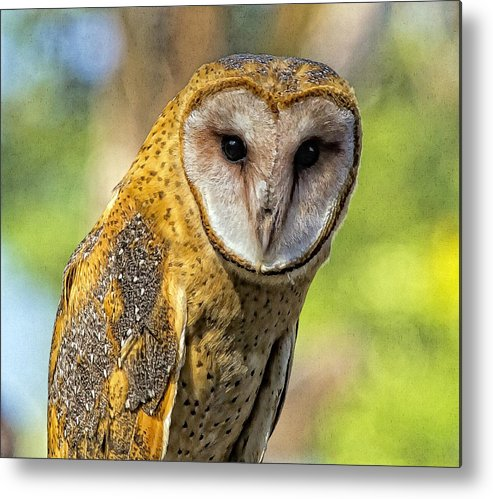 Barn Owl Metal Print featuring the photograph I Am Wise by Constantine Gregory
