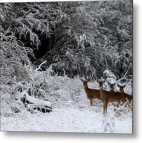 Deer Metal Print featuring the photograph Quartet In The Snow by Tamara Gentuso