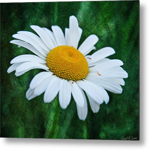 White Dasiy Metal Print featuring the photograph White Daisy by David Simons
