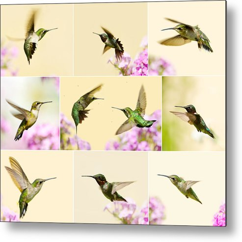Hummingbirds Metal Print featuring the photograph Little Wonders. by Kelly Nelson