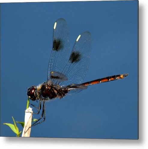 Dragonfly Metal Print featuring the photograph Brown Dragonfly Hanging On by Reva Steenbergen