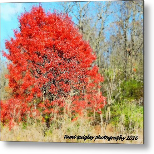 Red Maple Tree Metal Print featuring the photograph Miss Scarlett by Tami Quigley