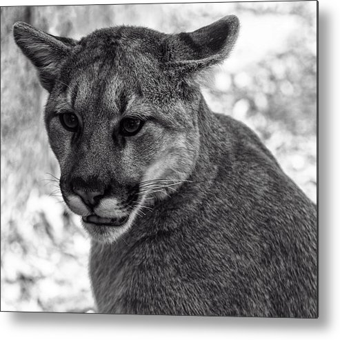 Animals Metal Print featuring the digital art Mountain Lion Bw by Chris Flees