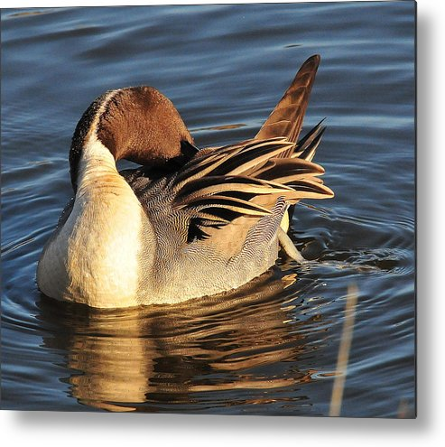 Photography Metal Print featuring the photograph Preening In The Sun by Joel Brady-Power
