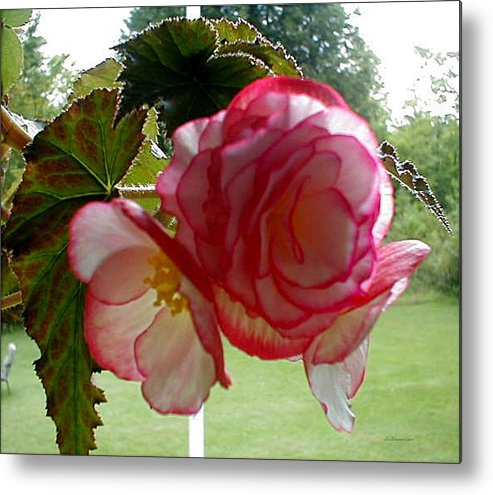 Summer Flowers Metal Print featuring the photograph Translucent Begonia by Liz Evensen