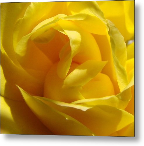 Roses Metal Print featuring the photograph Yellow Rose by Liz Vernand