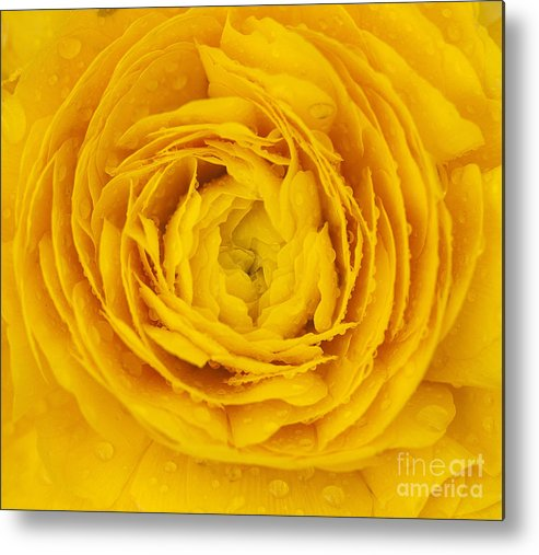 Buttercup Metal Print featuring the photograph Buttercup Macro by Emma England
