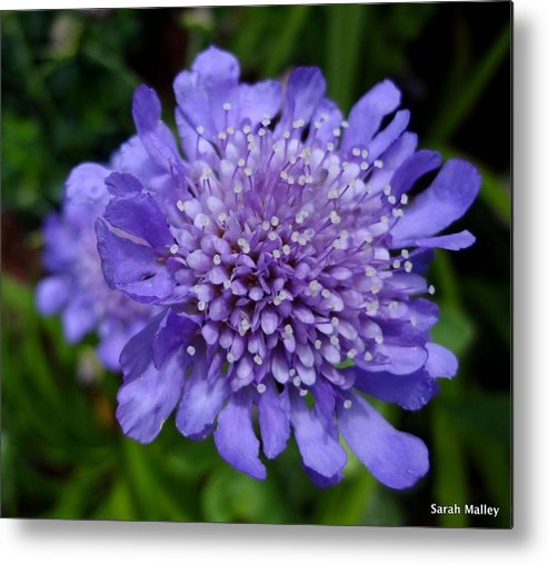 Flowering Plant Metal Print featuring the photograph Butterfly Blue Pincushion Flower by Sarah Malley