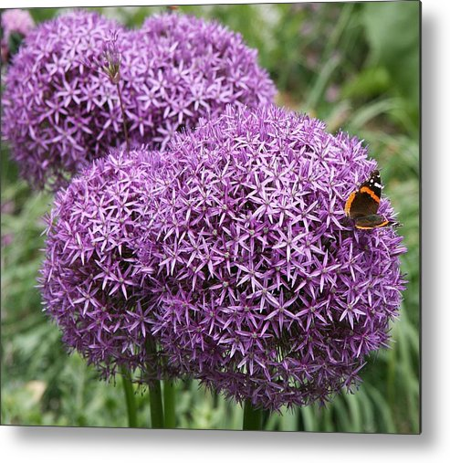 Allium Metal Print featuring the photograph Favorite Butterfly Spot by Christiane Schulze Art And Photography