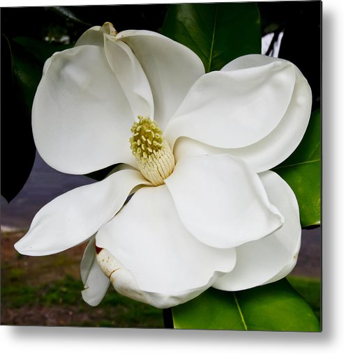 Magnolia Metal Print featuring the photograph Magnolia One by Paul Anderson