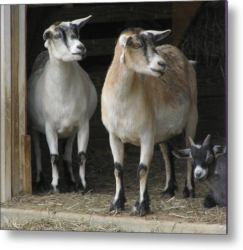 Goats Metal Print featuring the photograph Goat Trio by Jeanette Oberholtzer