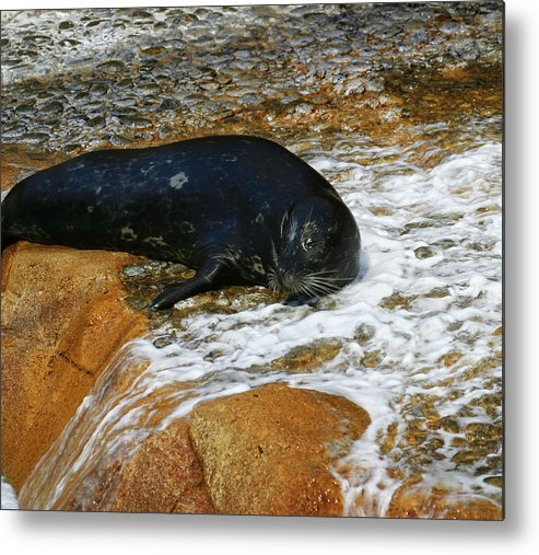 Seal Metal Print featuring the photograph Seal by Anthony Jones