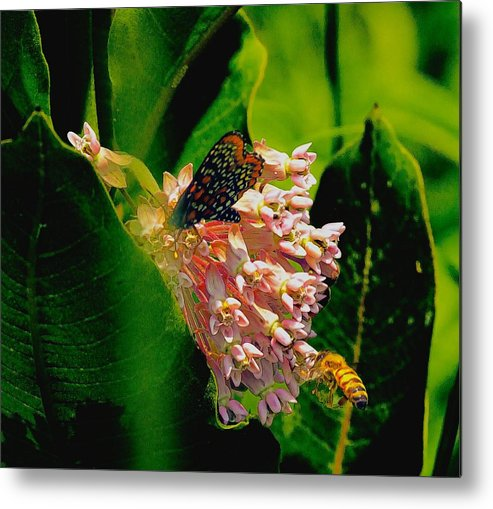 Summer Metal Print featuring the photograph Milking Milkweed by Constantine Gregory