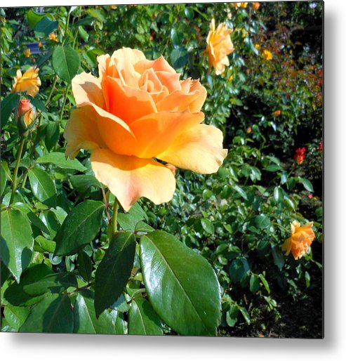 Rose Metal Print featuring the photograph My Love Is Like A Rose by Kay Gilley
