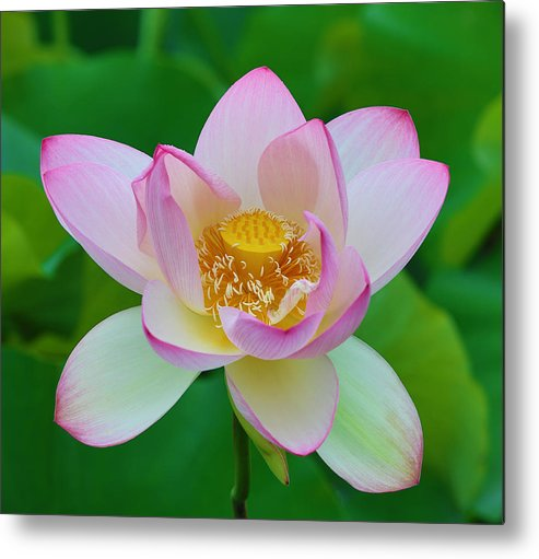 Pink Metal Print featuring the photograph Square Lotus Flower by Jack Nevitt