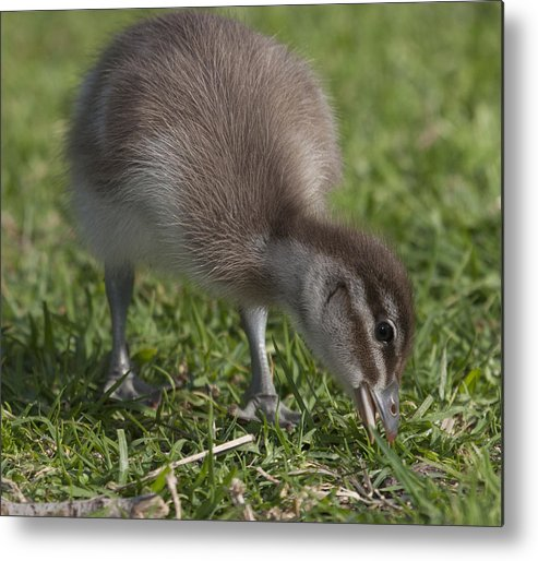 Duck Metal Print featuring the photograph Duckling by Masami Iida