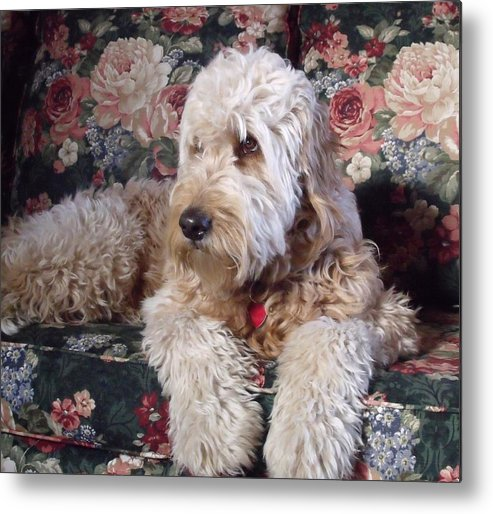 Animal Metal Print featuring the photograph A Doodle In Trouble by Diane Daigle