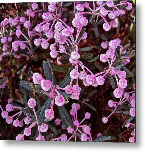 Rosemary Metal Print featuring the photograph Bog Rosemary by Randy Rosenberger