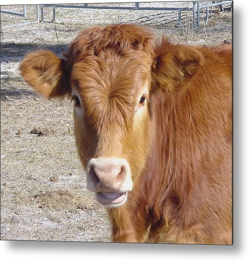 Farm Metal Print featuring the painting Calf Smiles by Debbie May