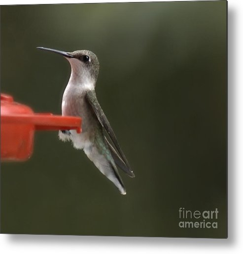 Hummingbird Metal Print featuring the photograph Green Streak by Catherine Melvin