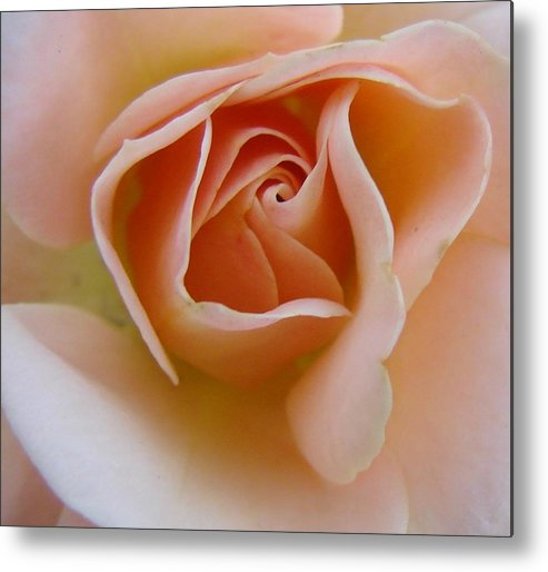 Rose Metal Print featuring the photograph Peach Mini Rose by Liz Vernand