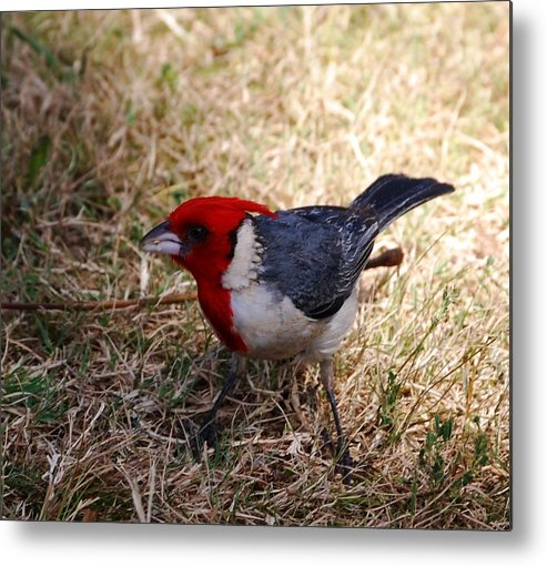 Bird Metal Print featuring the photograph Red Crusted Cardinal by Lakida Mcnair