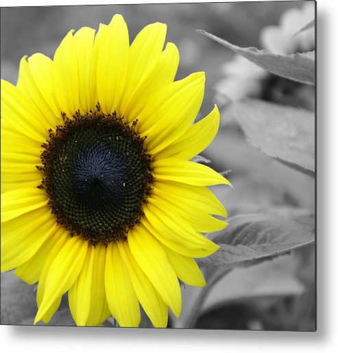 Sunflower Metal Print featuring the photograph Sunflower by Lisa Hebert