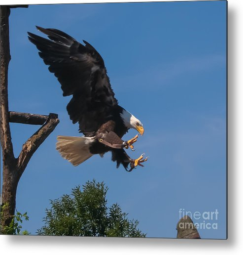 Bald Eagle Metal Print featuring the photograph The Eagle Is Landing by Amy Sorvillo