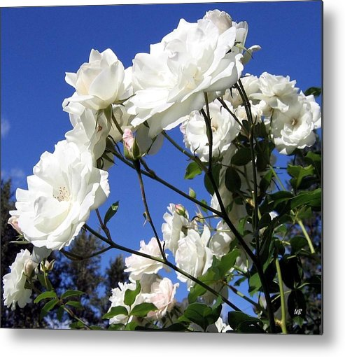 Roses Metal Print featuring the photograph The Iceberg Rose by Will Borden