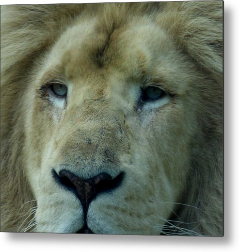 White Lion Metal Print featuring the photograph Aslan by Charles H Middleburgh