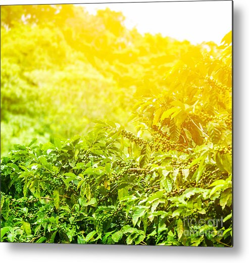 Agriculture Metal Print featuring the photograph Coffee Plantation Sunny Background by Anna Om