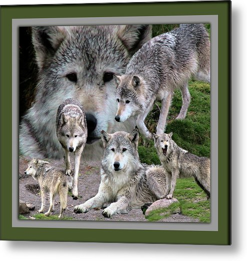 Animals Metal Print featuring the photograph Montana Wolf Pack by Thomas Woolworth