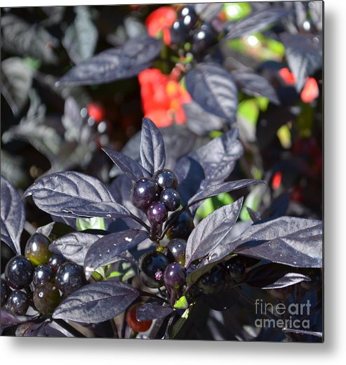 Ornamental Peppers Metal Print featuring the photograph Ornamental Peppers by Luther Fine Art