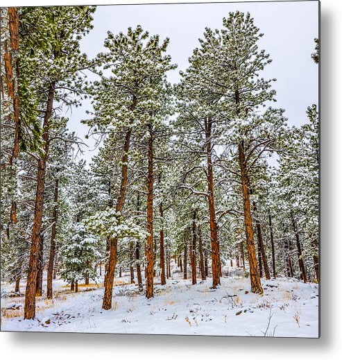 Boulder Landscapes Metal Print featuring the photograph Tall Snowy Pines by Ed Fiske