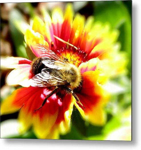 Bee Metal Print featuring the photograph Diving In by Kim Galluzzo Wozniak