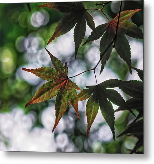 Da*55 1.4 Metal Print featuring the photograph Japanese Maple by Lori Coleman