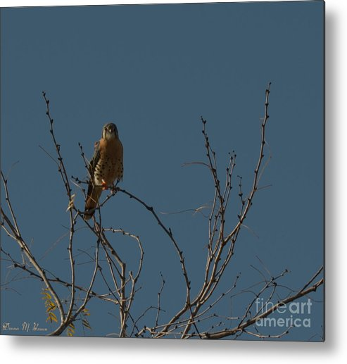 Bird Metal Print featuring the photograph Kestrel by Donna Brown