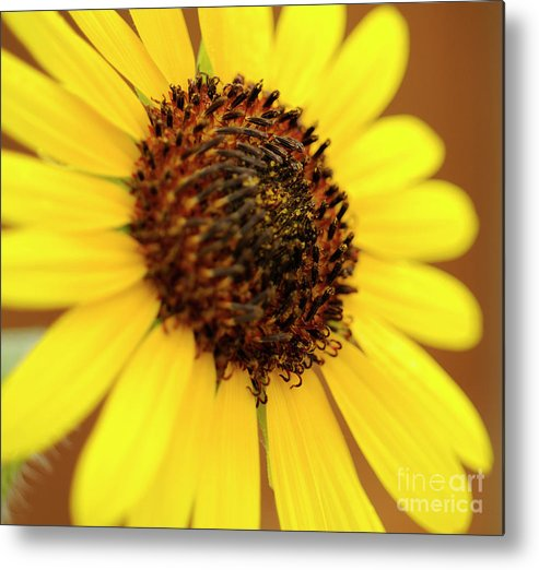 Sunflower Metal Print featuring the photograph Sunflowers by LS Photography