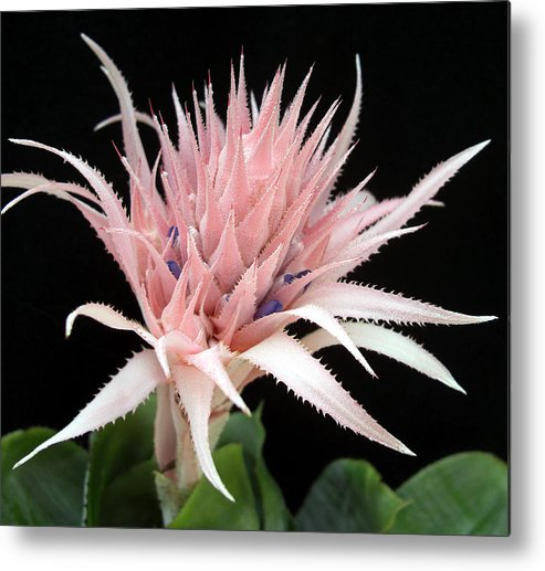 Bromeliad Metal Print featuring the photograph Bromeliad by Frederic Kohli